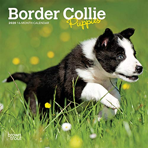 - Border Collie Puppies 2020 7 x 7 Inch Monthly Mini Wall Calendar, Animals Dog Breeds Collie Puppies