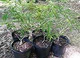 New Vitex .. Chaste Tree (Vitex agnus-castus) .. gallon