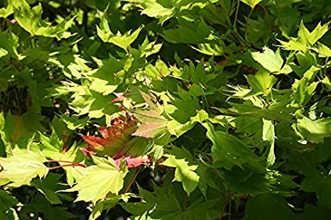 Amazoncom 11 Seeds Of Acer Shirasawanum Aureum Dry Seed Yellow
