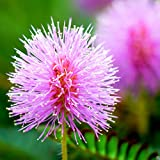 Outsidepride Mimosa Pudica Sensitive Plant Seeds - 1000 Seeds
