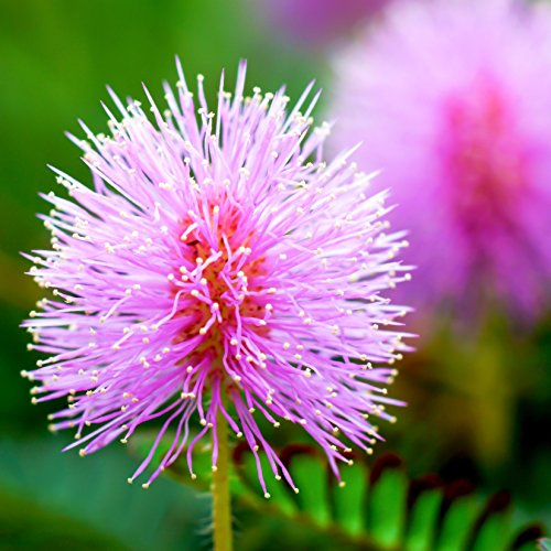 (Outsidepride Mimosa Pudica Sensitive Plant Seeds - 1000 Seeds)
