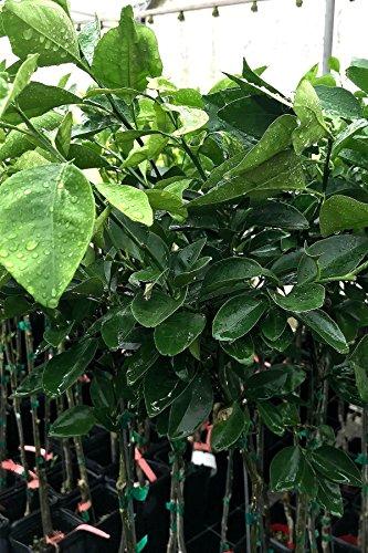 Root 98 Warehouse Dwarf Valencia Orange Tree