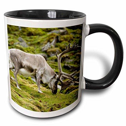 (3dRose Danita Delimont - Deer - Norway, Spitsbergen. Svalbard reindeer buck forages on the tundra. - 15oz Two-Tone Black Mug (mug_207526_9))