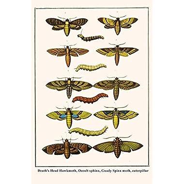Buyenlarge 0-587-29890-1-C4466  Death's Head Hawk Moth, Occult Sphinx, Gaudy Sphinx Moth, Caterpillar  Gallery Wrapped Canvas Print, 44  x 66