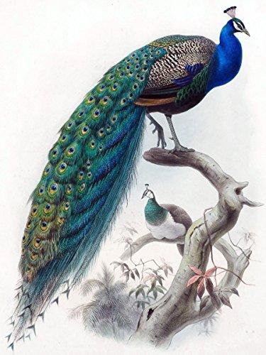 Flekman Art Bird peacock by Daniel Giraud Elliot Accent T...