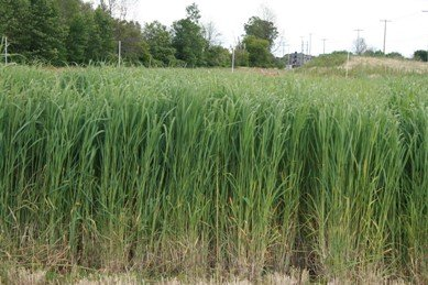 "Seeds and Things Switchgrass ""Dacotah""panicum Virgatum Native. 1,000+ Seeds an Upright Bunch-type Grass That Spreads By Short Rhizomes and Grows From 4 Ft. To 6 Ft. Tall. Blooms From July to September. Drought Tolerant. Very Hardy."