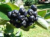 Chokeberry 'Viking' Aronia melanocarpa Live Plant