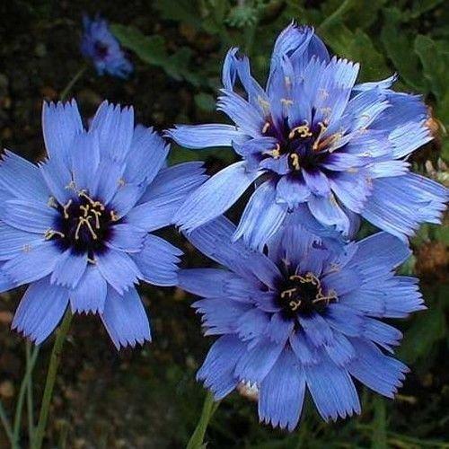 Cupids Dart - 35+ Blue Cupid's Dart Flower Seeds / Catananche / Peerennial