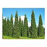 Thuja plicata - Western Red Cedar - 15 seeds