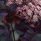 Plant World Seeds - Angelica Sylvestris 'Ebony' Seeds