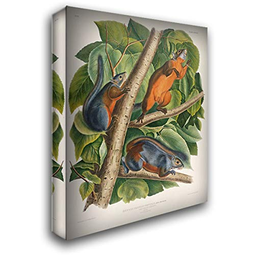 Red-Bellied Squirrel 28x36 Gallery Wrapped Stretched Canvas Art by Audubon, John James