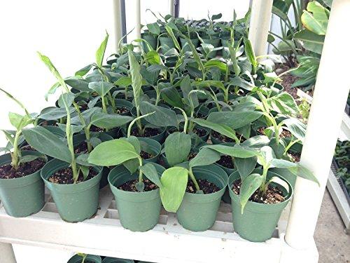 Musa Goldfinger Banana Plant Fruit