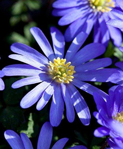 25 ANEMONE BLANDA BULB (Anemone Blanda Bulbs)