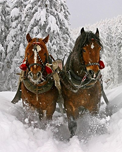 Clydesdale Horse In Snow 8 x 10 GLOSSY Photo Picture IMAGE #7