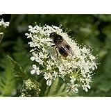 20 SWEET CICELY Myrrhis Odorata Herb Flower Seeds