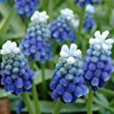 20 bulbs MUSCARI~A TOUCH OF SNOW~FRAGRANT BLUE&WHITE GRAPE HYACINTHS RARE IN USA