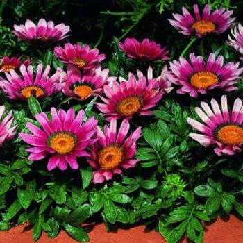 Gazania Kiss (Outsidepride Gazania Kiss Rose - 100 seeds)