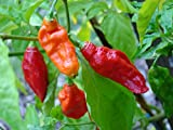 20 GHOST PEPPER SEEDS - WORLDS HOTTEST Naga Bhut Jolokia Cobra Chili Vegetable