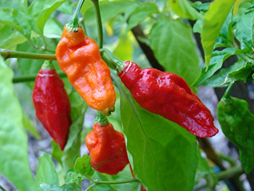 20 Pepper Seeds (20 GHOST PEPPER SEEDS - WORLDS HOTTEST Naga Bhut Jolokia Cobra Chili Vegetable)