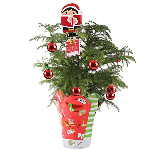 Costa Farms Live Norfolk Island Pine (Indoor Christmas Tree), Medium Island Christmas Tree