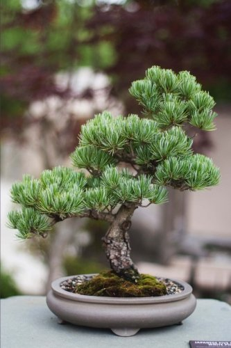A Bonsai Tree in a Pot Ornamental Plant Journal