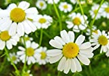 500+ ORGANICALLY GROWN German Chamomile Seeds Heirloom NON-GMO Matricaria Recutita From USA