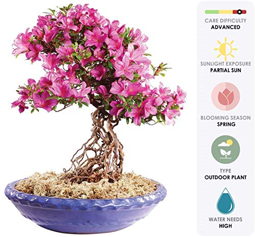 - Brussel's Live Azalea Specimen Outdoor Bonsai Tree - 35 Years Old; 16