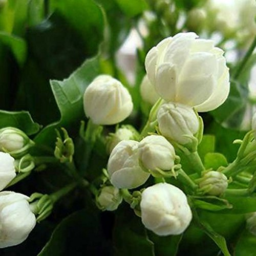 - 40pcs White Jasmine Flower Seeds Fragrant Plant Seeds Home Garden Indoor Plant Bonsai Arabian Jasmine Seeds