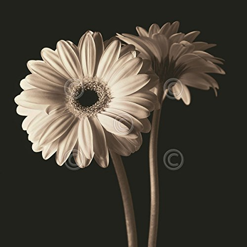 Gerber Daisies 1 by Michael Harrison Floral Flower Daisy Print Poster 12x12