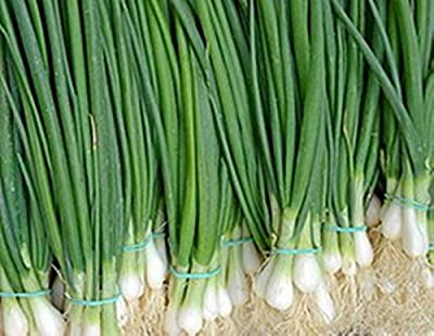 Seeds Welsh Onion Pyero - Pierrot Organic Russian Heirloom Vegetable Seed