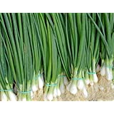 Seeds Welsh Onion Pyero - Pierrot Organically Grown Russian Heirloom Vegetable