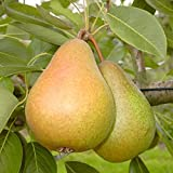Birnenbaum Gellerts Butterbirne saftig süß Herbstbirne Buschbaum 120-150 cm 10 L Topf auf Quitte A