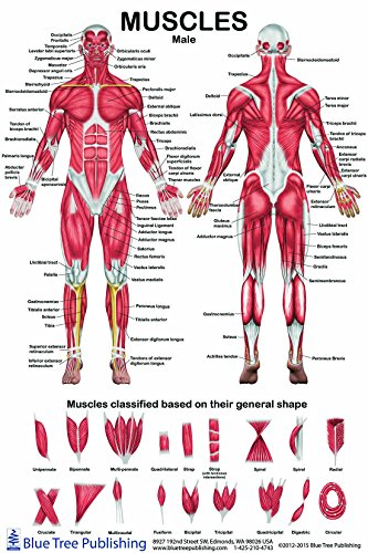 The Muscles Male Poster 12*17inch, for Physical Fitness, Working Out, Muscular System Anatomical Chart
