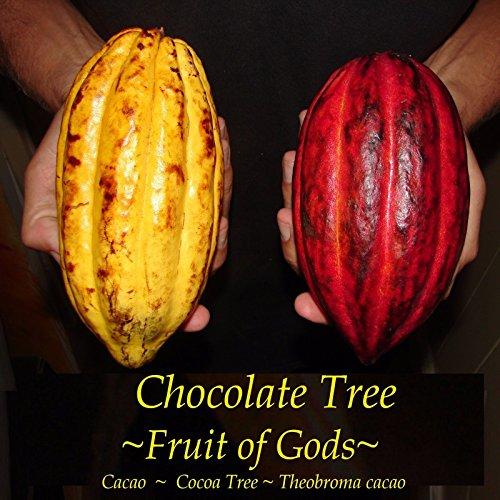 chocolate-tree-fruit-of-gods-theobroma-cacao-live-plant-small-starter-seedling