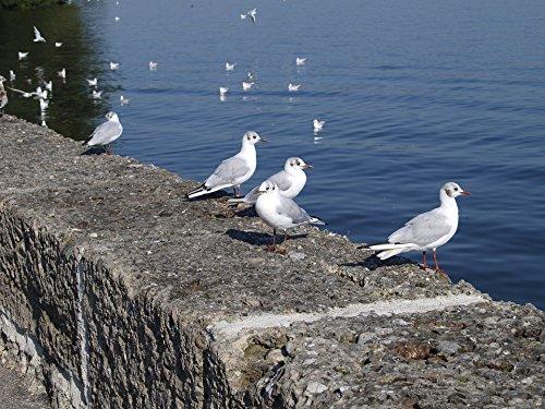 Home Comforts LAMINATED POSTER Gulls Blue Nature Chiemsee Upper Bavaria Bird Poster 24x16 Adhesive (Bavaria Bird)