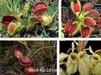 Jardín Planta carnívora plantas -100 jarra plantas semillas flor maceta macetas jardín planta Bonsai Semillas: Amazon.es: Jardín