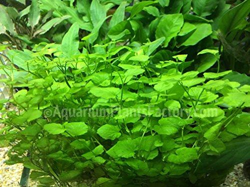 AquariumPlantsFactory - Cardamine Lyrata Freshwater Live Aquarium Plants -