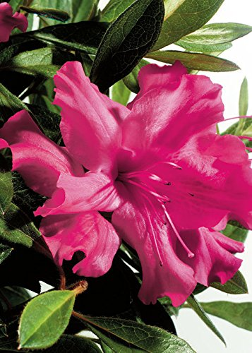 Pink Azalea Plant - 1 Gallon - Encore Azalea Autumn Sundance - Dwarf Evergreen Shrub that Re-blooms with Vibrant Pink Single form Flowers