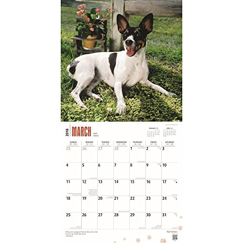 Rat Terriers 2018 Wall Calendar Photo #2