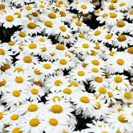Non GMO Bulk Shasta Daisy Seeds Chrysanthemum Maximum (1/4 Lb) 106,250 -