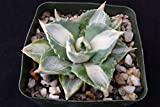 Agave isthmensis hoji raijin Cactus Cacti Succulent Real Live Plant