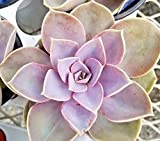 """Echeveria Perle von Nurnberg 4"""" pot succulent plants sempervivum aeonium"""