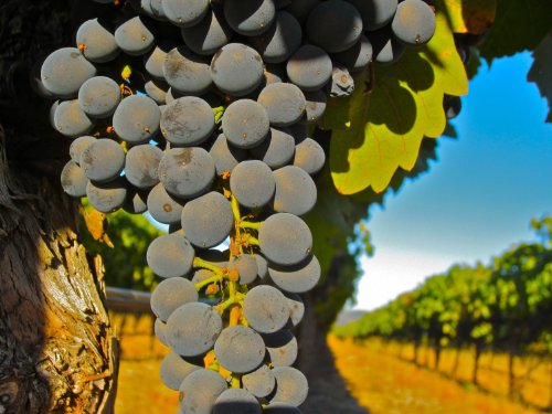 50-Pounds-Ultra-Premium-Syrah-Grapes-California-Sonoma-Valley-Durell-Vineyard-WineGrapesDirect-Frozen-Grape-Must-for-Winemaking