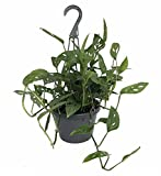 Swiss Cheese Plant - Monstera adansonii - Easy to Grow Old Favorite - 8'' Pot