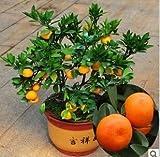 by DUBU 2 Type New 100pcs/bag, Balcony Patio Potted Fruit Trees Planted Seeds, Kumquat Seeds, Orange Seeds, Tangerine (Tangerine O)