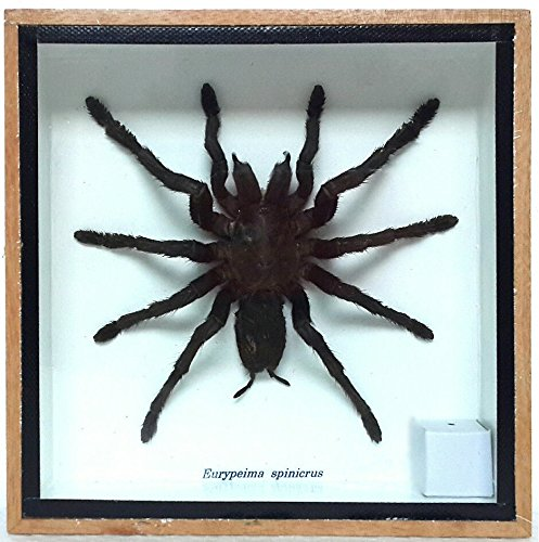 REAL GIANT BIRD EATING TARANTULA EURYPEIMA SPINCRUS SPIDER TAXIDERMY BOXED DISPLAY