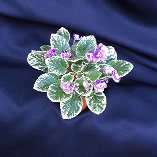 grape-treat-mini-african-violet-well-rooted-plant-shipped-in-2-pot