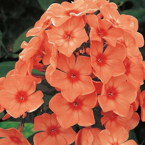 Nianyan New orange Phlox Paniculata Garden- Annual Phlox Native Wildflower Seeds -Summer Native Hummingbird Flower Seeds