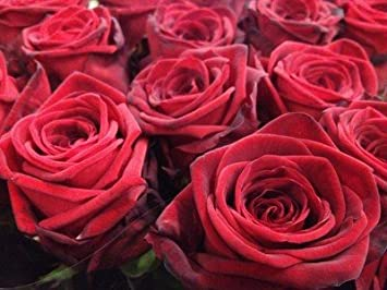 20 x 60cm Red Roses Fresh from Dutch Auctions Ideal for Anniversaries Highest Quality and Grade Wholesale Wraps Valentines or Thank You Gifts