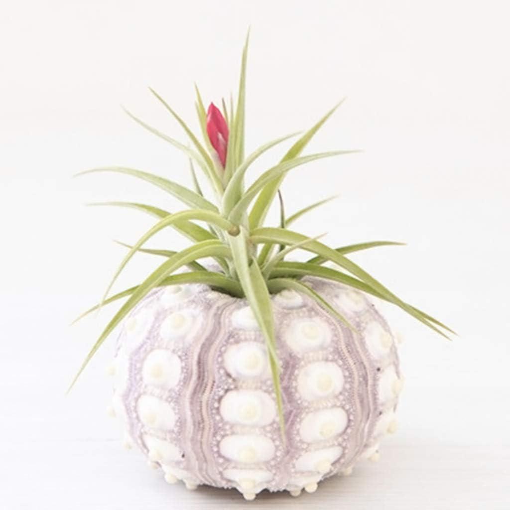 Xuniu Plantes Air Sea Urchin Dessus De Table Tillandsia De Table Miniature D/écorations De Jardinage 4cm-7cm